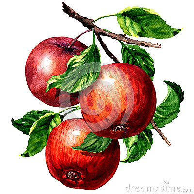 Free Ripe Three Red Apples With Leaves On Branch Isolated, Watercolor Illustration On White Royalty Free Stock Image - 90783026