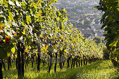 Ripe vines in vineyard