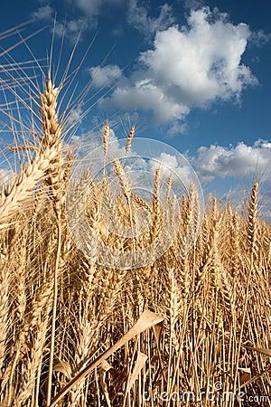 Free Ripe Wheat Stock Image - 116471