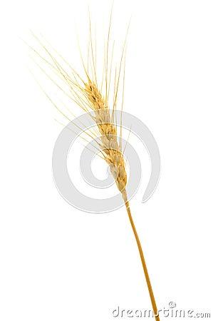 Free Ripe Wheat Royalty Free Stock Photo - 11884985