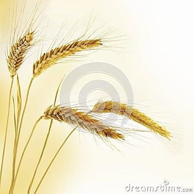 Free Ripe Wheat Stock Photos - 15736603