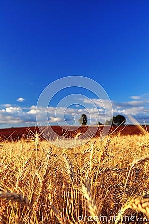 Ripe Wheat Ears