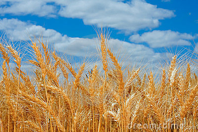 Ripe wheat field in Oregon