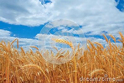 Ripe wheat field in Oregon