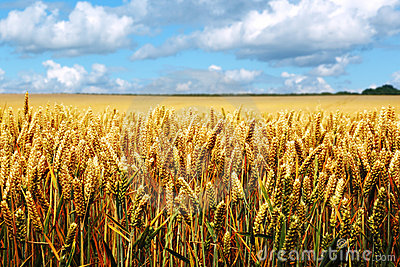 Ripe wheat field on a summer day