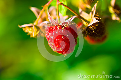 Ripe wild raspberries