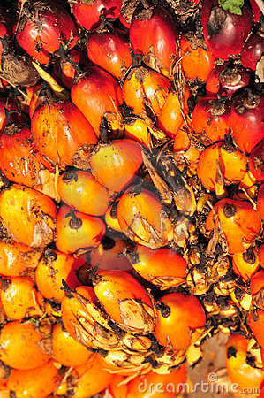 Free Riped Palm Kernel Seed Stock Photography - 5076502
