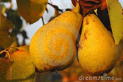 Riped pears on a branch