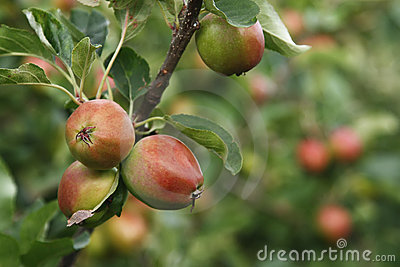 Ripen apples on tree in nature