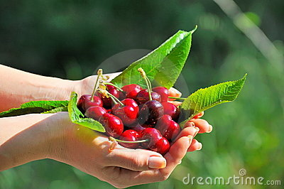 Ripen cherries in the hands of a girl