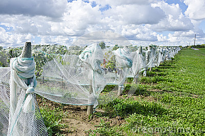 Ripen Pinot Noir Red Wine Grapes Under Nets #1