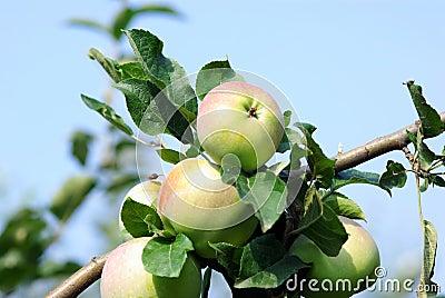 Ripened apples