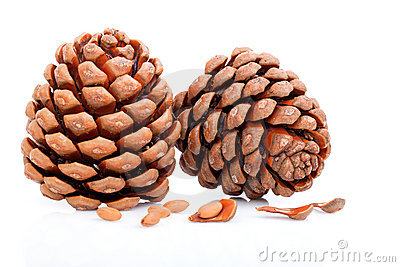 Ripened cone with pine nuts