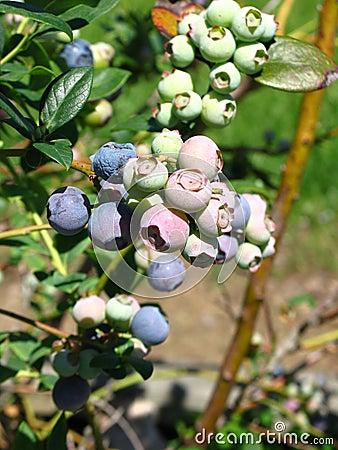 Ripening Blueberries