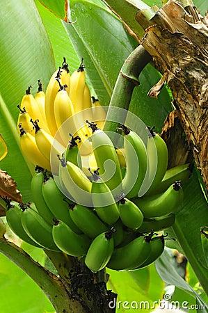 Free Ripening Bunch Of Bananas Stock Image - 19426821