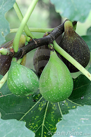 Ripening Italian Figs ((Ficus carica)