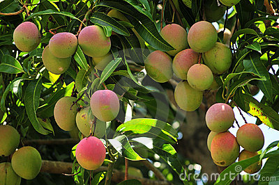 Ripening mangoes on tree
