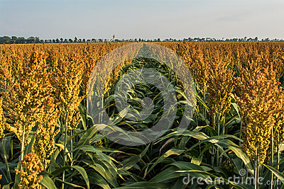 Ripening Milo (Sorghum) Field