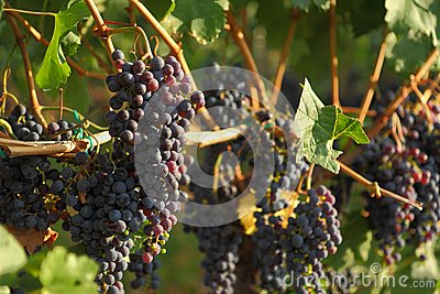 Ripening Okanagan Wine Grapes