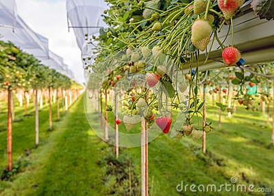 Ripening strawberries outdoor growing on substrate at a speciali Stock Photo