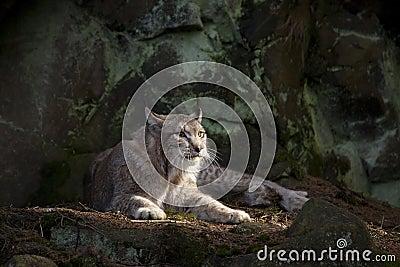 Riposo del gatto selvatico