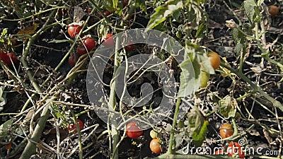 Riprese in slow motion di pomodori organici rossi maturi Agricoltura, stile di vita sano archivi video