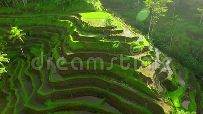 Ris terrasserar cirkeln för fältantennskottet omkring, det gröna risfältfältet i Bali, Indonesien arkivfilmer