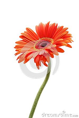 Rising daisy