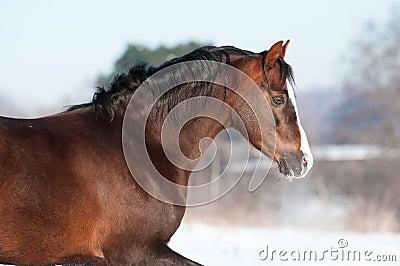 Ritratto del cavallino di lingua gallese in inverno