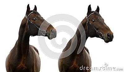 Ritratto del cavallo di baia
