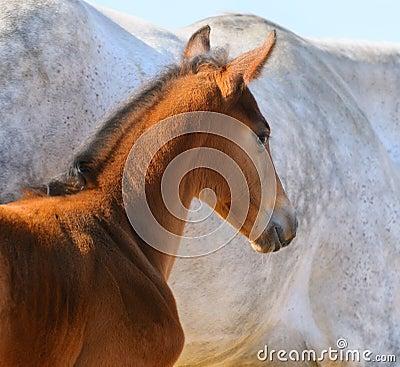 Ritratto del foal della baia