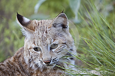 Ritratto del gatto selvatico