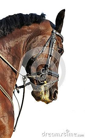 Ritratto dello stallion della baia isolato