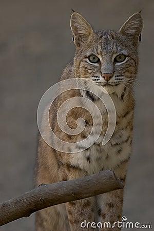 Ritratto di un gatto selvatico