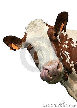 Ritratto isolato della mucca