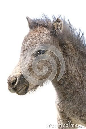 Ritratto miniatura sveglio del Foal su bianco