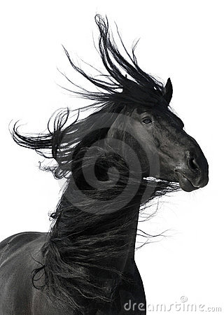 Ritratto nero del cavallo isolato su priorità bassa bianca