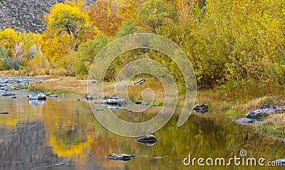 River Aspens