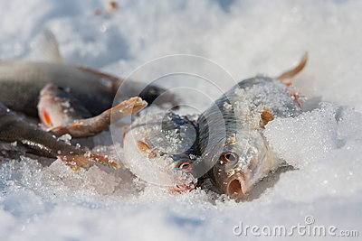 River fish lies on snow. Winter fishing