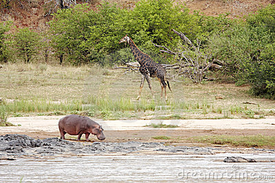 River with hippo and giraffe