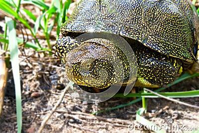 River turtle