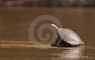 River turtle at the Madre de Dios river, Peru.