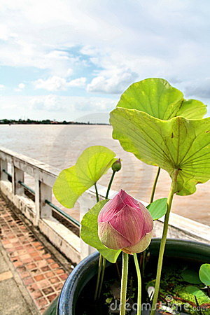 Riverside Pink Lotus