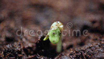 Rośliny r w groung sprigtime timelapse Germitating kiełkuje ziarna Ewolucji pojęcie, nowy etap życia zbiory