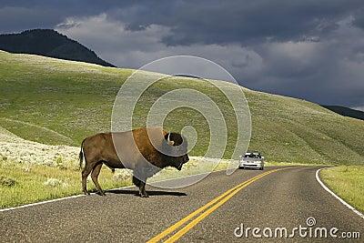 Road Buffalo