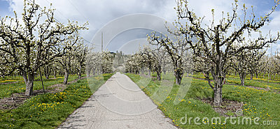 Road Through Cherry Orchard