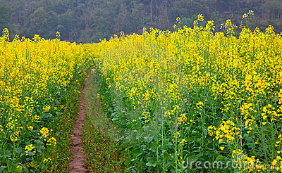 Road through field of Oilseed Rape