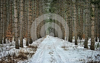 Road through Pine Trees