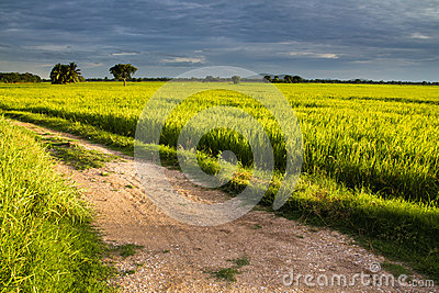 Road in rice field