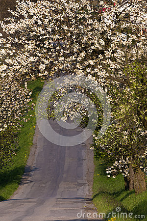 Free Road With Alley Of Apple Trees In Bloom Stock Photography - 90024012